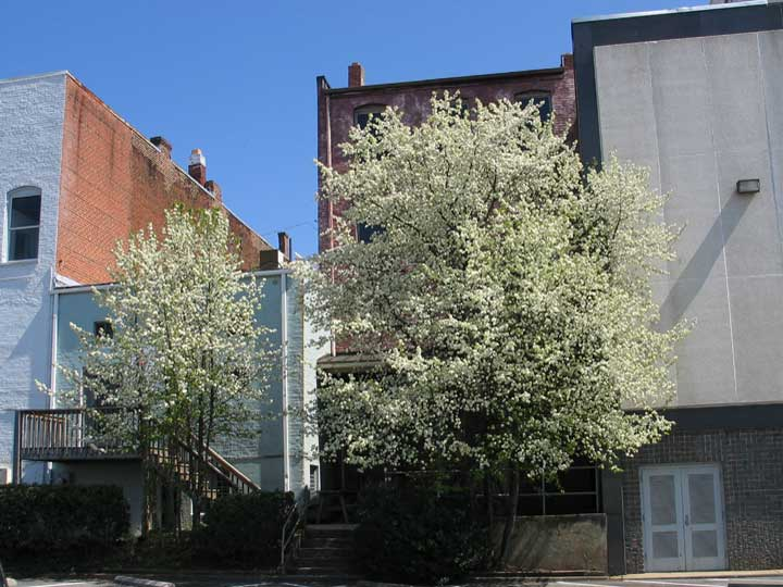 Center Street with Flowering Trees